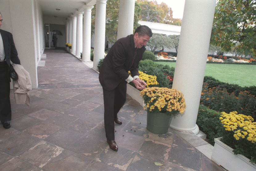 President Reagan laying out acorns for the squirrels outside the Oval Office. 11/4/83 (Reagan Library, C18085-17)